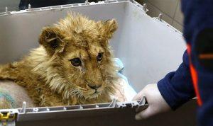 Спасенных в Челябинске львёнка и леопарда отправят в Африку